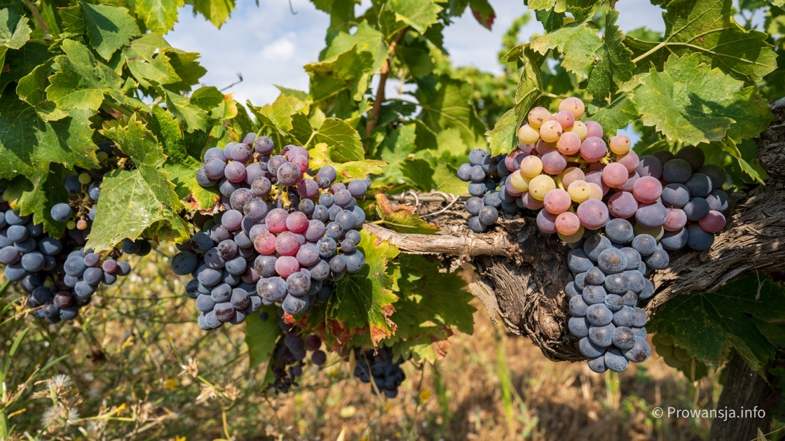 Winnice w Prowansji