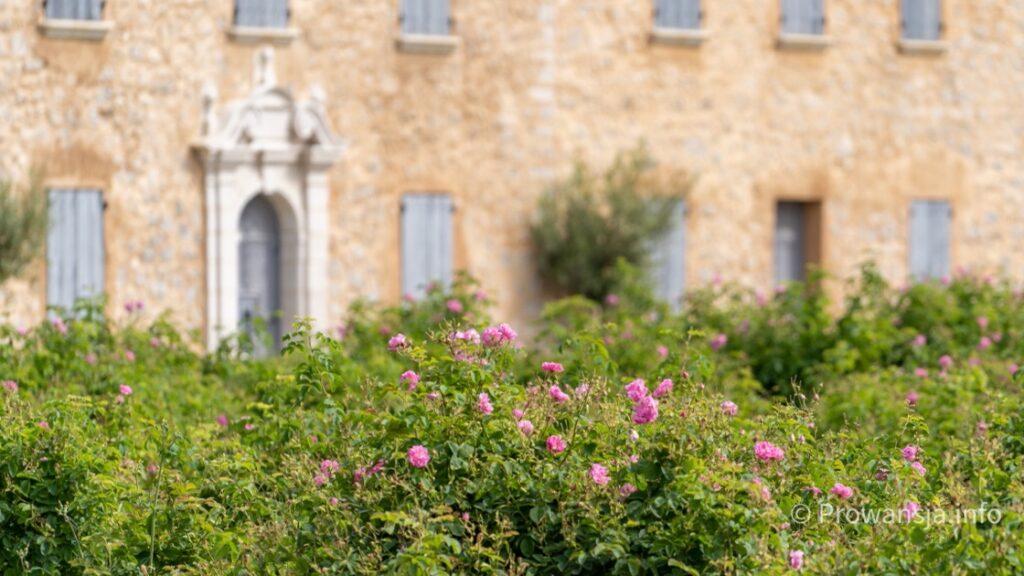 Róża centyfolia, z której powstaje perfum Chanel nr 5